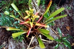 Coloful bromeliad in southern Venezuela