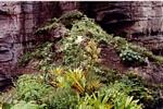 Epiphyte garden near to the summit of Auyantepui