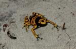 Yellow-banded Poison Arrow Frog (Dendrobates leucomelas) in Venezuela