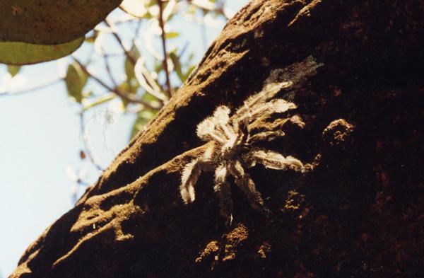 Tarantulaspinne in Venezuela