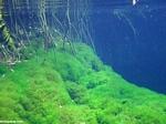 Aquatic biotope for cenotes in the Yucatan, Mexico.