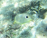 Butterflyfish Cancun, Mexican Riviera, Mexico