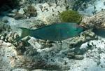 Parrotfish Cancun, Mexican Riviera, Mexico
