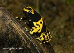 Yellow-Banded Poison Frog (Dendrobates leucomelas)