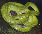 Serpiente enredadera verde (Oxybelis fulgidus)