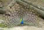 Indian Peafowl (Pavo cristatus)