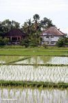 Rice fields with homes in background (Ubud, Bali)