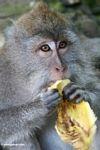 Long-tailed macaque eating a banana (Ubud, Bali)