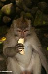 Male Cynomolgus monkey eating a banana (Ubud, Bali)