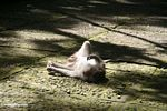 Macaque sunning while laying on its back (Ubud, Bali)