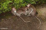 Long-tailed macaque (Macaca fascicularis) (Ubud, Bali)