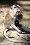Mama macaque monkey with baby (Ubud, Bali)