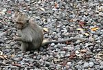 Young macaque sitting on gravel (Ubud, Bali)