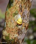 Yellow snail on tree trunk (Ubud, Bali)