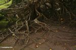 Roots of rainforest tree (Ubud, Bali)