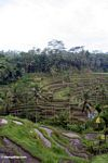 Tegallantang Rice paddies (Ubud, Bali)