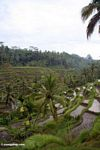 Rice terraces of Tegallantang (Ubud, Bali)