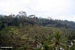 Terraced rice paddies of Tegallantang (Ubud, Bali)