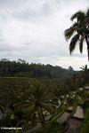 Terraced rice paddy fields (Ubud, Bali)