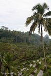 Terraced rice paddy fields of Bali (Ubud, Bali)