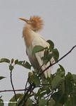 Male heron of Petulu (Ubud, Bali)