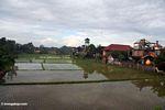 Rice field in Bali (Ubud, Bali)