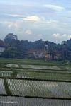 Balinese rice field (Ubud, Bali)