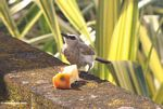 White-gray bird feeding on an apple core (Jimbaran, Bali)