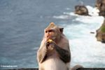Pregnant long-tailed macaque at Uluwatu, with breaking surf in the background (Jimbaran, Bali)
