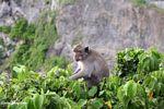 Java monkey at Uluwatu (Jimbaran, Bali)