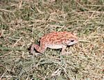 Red, yellow, white, and brown toad in Bali (Jimbaran, Bali)