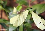 Green and black dragonfly resting on leaf (Java)