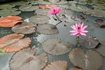 Pink lotus flowers and lily pads (Java)