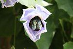 Giant black bee feeding on morning glory flower nectar (Java)
