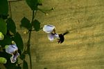 Large black bumble bee preparing to land on a morning glory flower (Java)