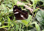 Hitam kupu-kupu dengan tanda putih di Jawa (Java)