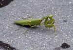 Green preying mantis (Java)