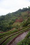 Terraces of rice and bananas in Java (Java)