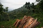 Fuel wood cut from the Java jungle (Java)