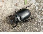 Large black beetle in Kalimantan (Kalimantan, Borneo (Indonesian Borneo))