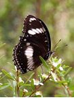 Black and white butterfly feeding on flower nectar (Kalimantan, Borneo (Indonesian Borneo))