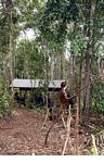 Ex-pet orangutan learning forest survival skills at the Orangutan Care Centre and Quarantine in Pangkalan (Kalimantan, Borneo (Indonesian Borneo))