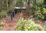 Young orangutans learning forest skills at the Orangutan Care Centre and Quarantine in Pangkalan (Kalimantan, Borneo (Indonesian Borneo))