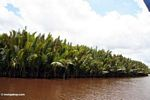 Nipa palms along the Seikonyer River (Kalimantan, Borneo (Indonesian Borneo))