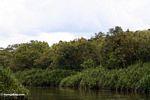 Pandanus palms along the Seikonyer River in Kalimantan (Kalimantan, Borneo (Indonesian Borneo))