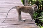 Long-tailed Macaque on boardwalk at Rimba Lodge (Kalimantan, Borneo (Indonesian Borneo))