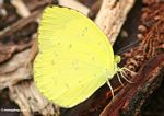 Yellow butterfly in Borneo (Kalimantan, Borneo (Indonesian Borneo))