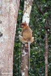 Female proboscis monkey looking back (Kalimantan, Borneo (Indonesian Borneo))