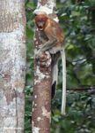 Excited female proboscis monkey (Nasalis larvatus) (Kalimantan, Borneo (Indonesian Borneo))