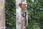 Excited female proboscis monkey (Kalimantan, Borneo (Indonesian Borneo))